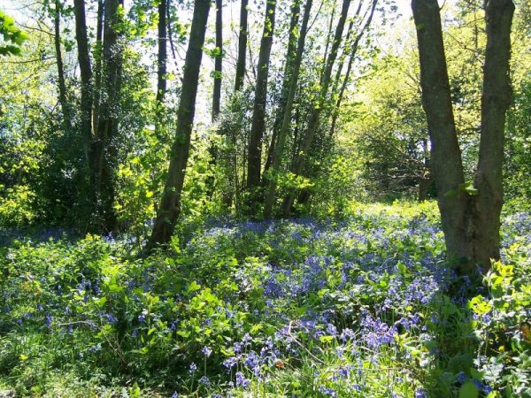 Bluebell Wood in bloom